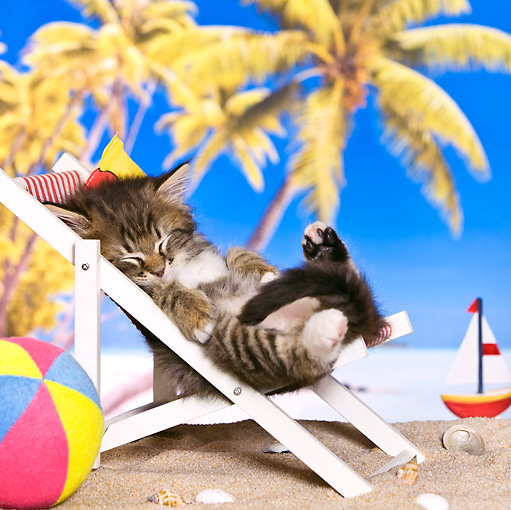 CAT 03 KH0454 01 © Kimball Stock Tabby Kitten Sleeping On Deckchair On Tropical Beach