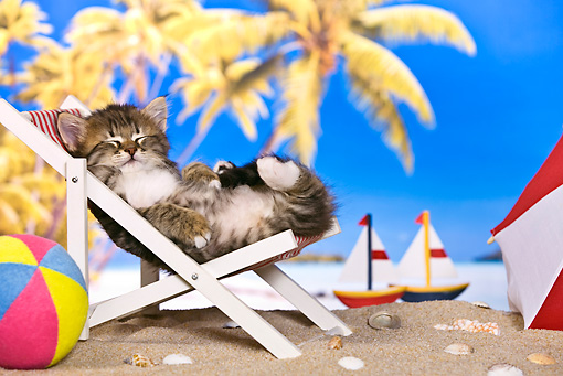 CAT 03 KH0455 01 © Kimball Stock Tabby Kitten Sleeping On Deckchair On Tropical Beach