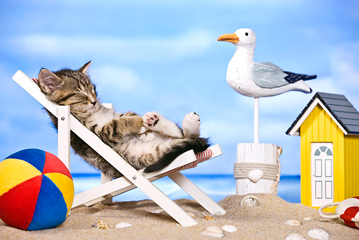 CAT 03 KH0457 01 © Kimball Stock Tabby Kitten Sleeping On Deckchair On Beach