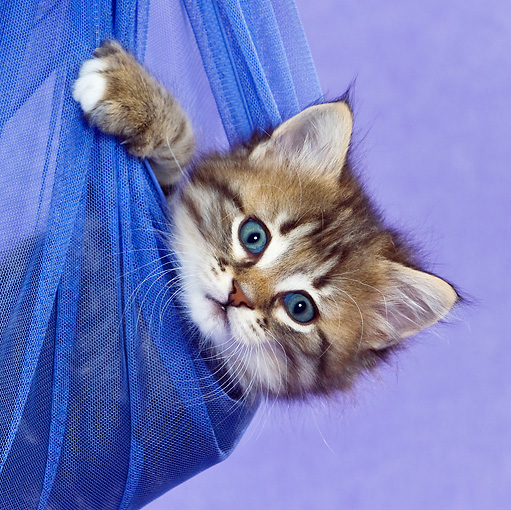 CAT 03 KH0458 01 © Kimball Stock Close-Up Of Tabby Kitten Playing In Blue Net Curtain In Purple Studio