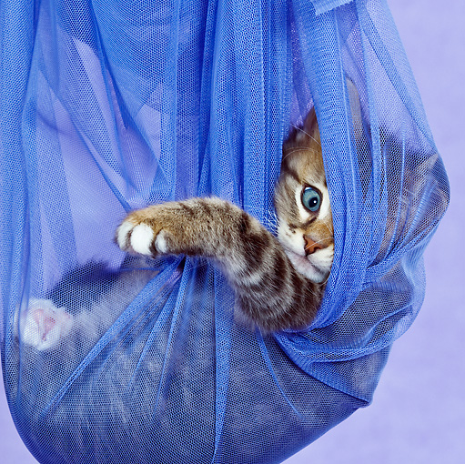 CAT 03 KH0459 01 © Kimball Stock Close-Up Of Tabby Kitten Playing In Blue Net Curtain In Purple Studio