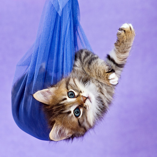 CAT 03 KH0460 01 © Kimball Stock Tabby Kitten Playing In Blue Net Curtain In Purple Studio