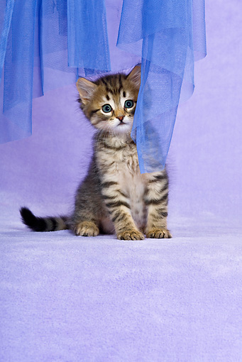 CAT 03 KH0461 01 © Kimball Stock Tabby Kitten Sitting By Blue Net Curtain In Purple Studio