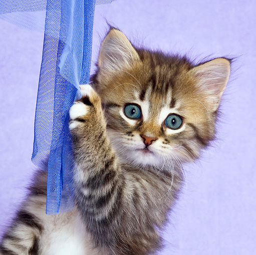 CAT 03 KH0462 01 © Kimball Stock Close-Up Of Tabby Kitten Playing With Blue Net Curtain In Purple Studio