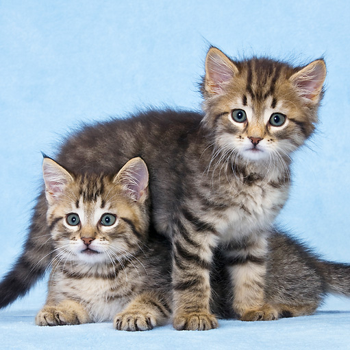 CAT 03 KH0463 01 © Kimball Stock Two Tabby Kittens Playing In Blue Studio