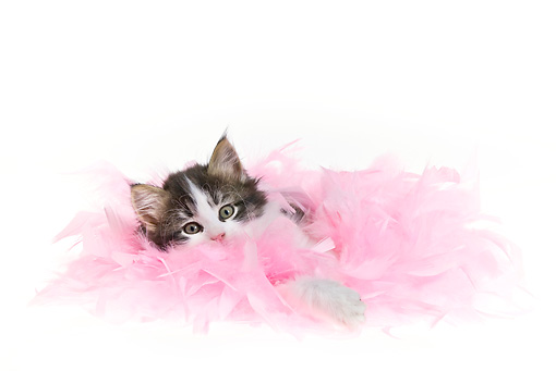 CAT 03 KH0464 01 © Kimball Stock Black And White Tabby Kitten Playing In Pink Feathers On White Seamless