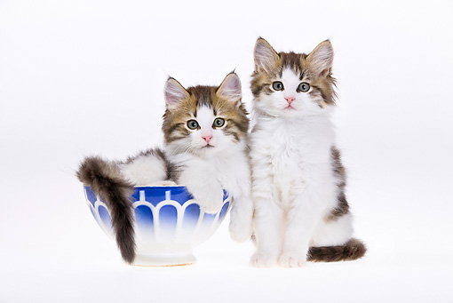 CAT 03 KH0467 01 © Kimball Stock Two White And Tabby Kittens Sitting In Bowl On White Seamless