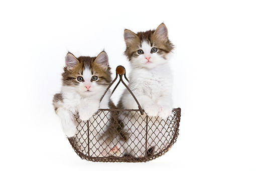 CAT 03 KH0471 01 © Kimball Stock Two White And Tabby Kittens Sitting In Wire Basket On White Seamless