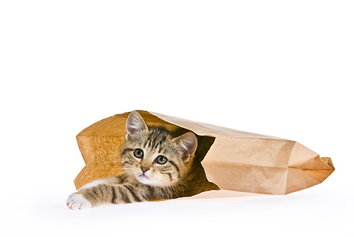 CAT 03 KH0472 01 © Kimball Stock Tabby Kitten Hiding In Brown Paper Bag On White Seamless