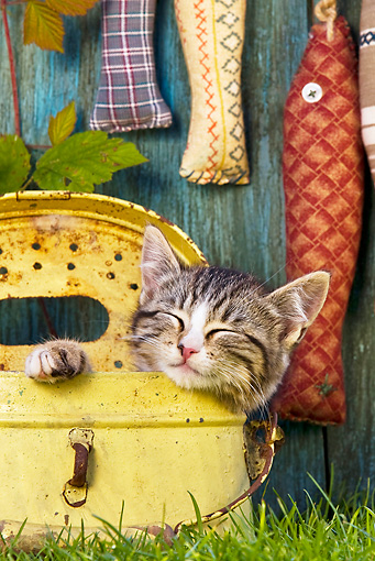 CAT 03 KH0476 01 © Kimball Stock Tabby Kitten Sleeping In Metal Canister On Grass By Fabric Fish