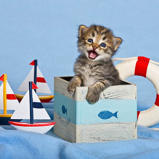 CAT 03 KH0478 01 © Kimball Stock Tabby Kitten In Marine Themed Box And Meowing