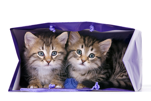 CAT 03 KH0484 01 © Kimball Stock Two Tabby Kittens Playing In Violet Gift Bag On White Seamless