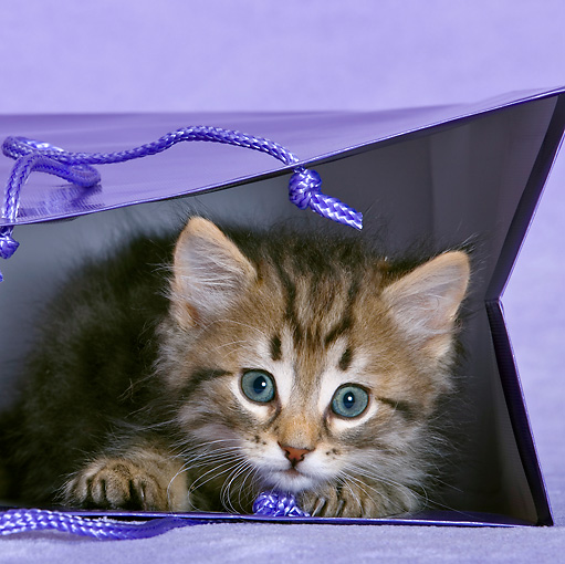 CAT 03 KH0493 01 © Kimball Stock Tabby Kitten Playing In Purple Gift Bag