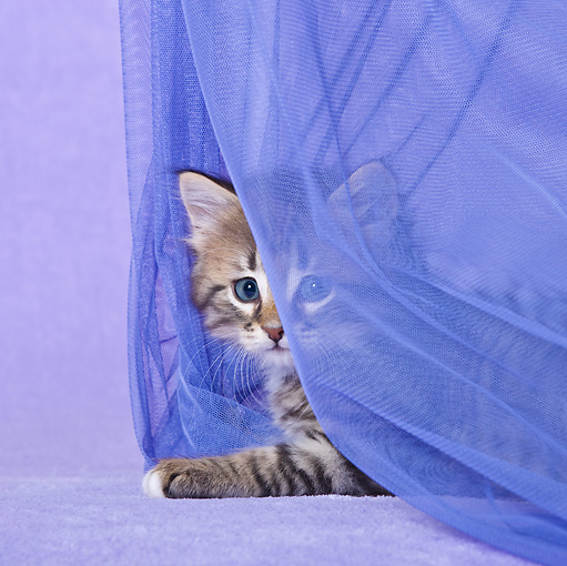 CAT 03 KH0499 01 © Kimball Stock White And Tabby Kitten Playing With Curtain In Purple Studio