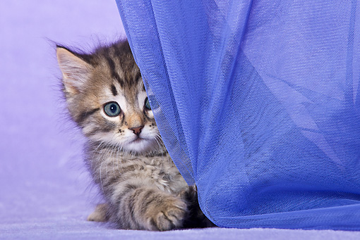 CAT 03 KH0500 01 © Kimball Stock White And Tabby Kitten Playing With Curtain In Purple Studio
