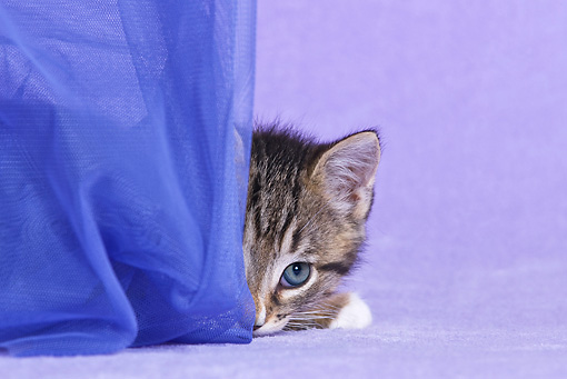 CAT 03 KH0501 01 © Kimball Stock White And Tabby Kitten Playing With Curtain In Purple Studio