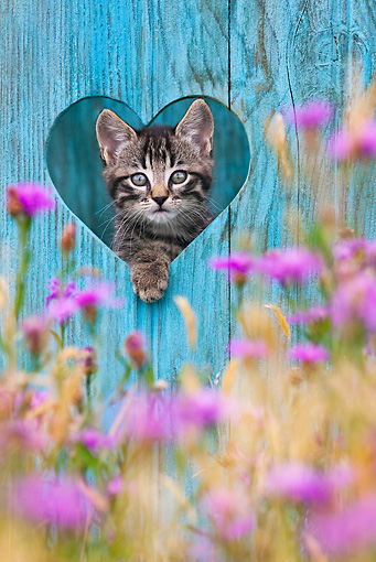 CAT 03 KH0503 01 © Kimball Stock Tabby Kitten Looking Through Heart-Shaped Hole In Blue Wooden Door France