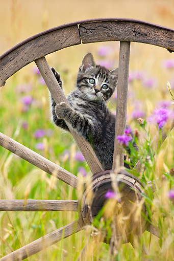 CAT 03 KH0506 01 © Kimball Stock Tabby Kitten Playing In Old Wooden Wheel France