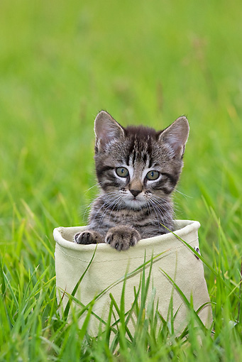 CAT 03 KH0509 01 © Kimball Stock Tabby Kitten Sitting In Canvas Bag On Grass France