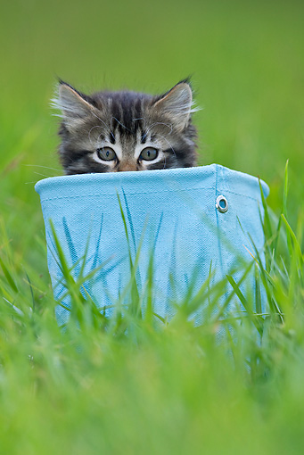 CAT 03 KH0510 01 © Kimball Stock Tabby Kitten Sitting In Blue Canvas Bag On Grass France