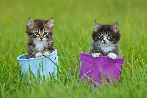 CAT 03 KH0511 01 © Kimball Stock Two Tabby Kittens Sitting In Blue And Purple Canvas Bags On Grass France
