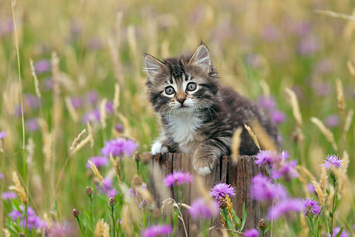 CAT 03 KH0514 01 © Kimball Stock Tabby Kitten Laying On Post In Grass And Cornflowers France