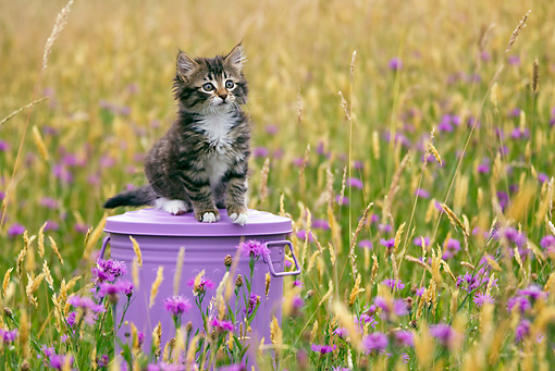 CAT 03 KH0522 01 © Kimball Stock Tabby Kitten Sitting On Lavender Bucket In Field Of Grass And Cornflowers France