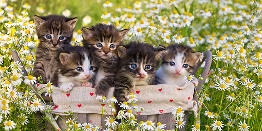 CAT 03 KH0523 01 © Kimball Stock Five Tabby Kittens Sitting In Basket In Chamomile Flowers France