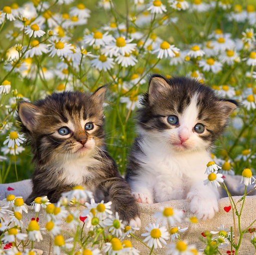 CAT 03 KH0524 01 © Kimball Stock Two Tabby And White Kittens Sitting In Basket In Chamomile Flowers France