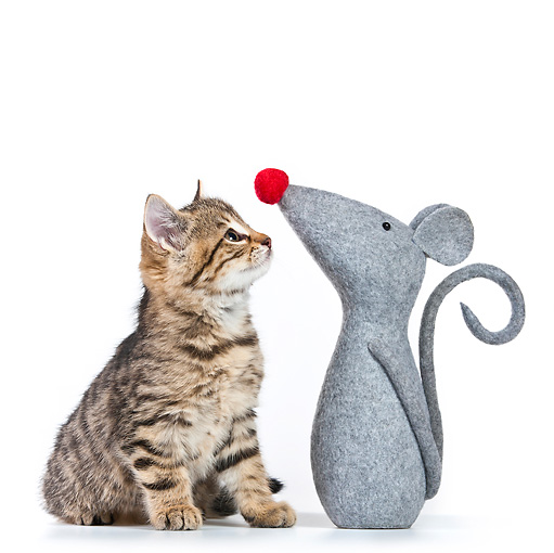 CAT 03 KH0532 01 © Kimball Stock Tabby Looking At Stuffed Mouse On White Seamless