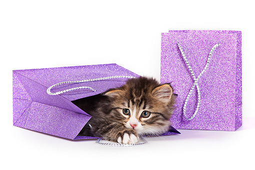 CAT 03 KH0535 01 © Kimball Stock Tabby And White Kitten Playing In Gift Bag On White Seamless