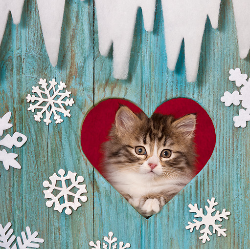 CAT 03 KH0541 01 © Kimball Stock Tabby Kitten Looking Through Heart In Christmas Decorated Door