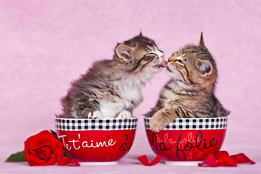 CAT 03 KH0544 01 © Kimball Stock Two Tabby Kittens In Bowls Kissing In Pink Studio