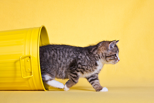 CAT 03 KH0553 01 © Kimball Stock Tabby Kitten Walking Out Of Yellow Trash Bucket In Studio
