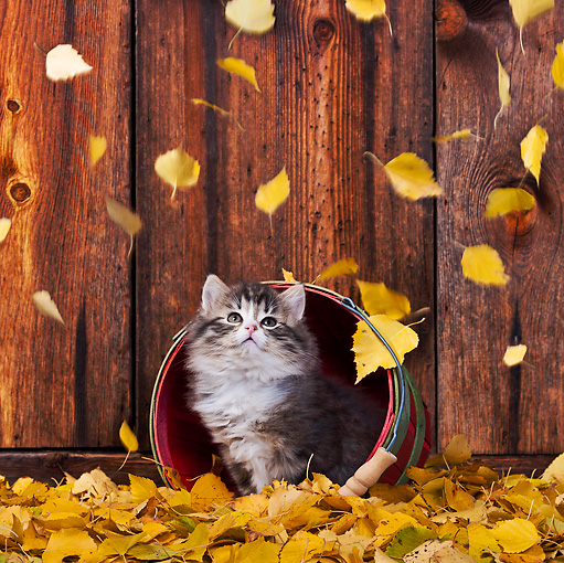 CAT 03 KH0556 01 © Kimball Stock Tabby And White Kitten In Basket Watching Yellow Birch Leaves Fall