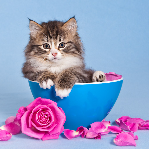 CAT 03 KH0563 01 © Kimball Stock Tabby And White Kitten Sitting In Blue Bowl With Rose Petals