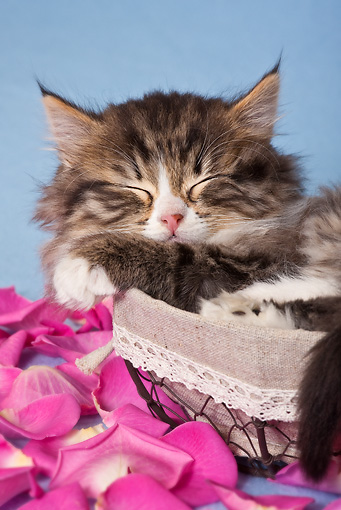 CAT 03 KH0564 01 © Kimball Stock Tabby And White Kitten Sleeping In Basket With Rose Petals