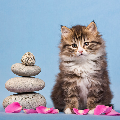 CAT 03 KH0566 01 © Kimball Stock Tabby And White Kitten Sitting By Zen Stones And Rose Petals
