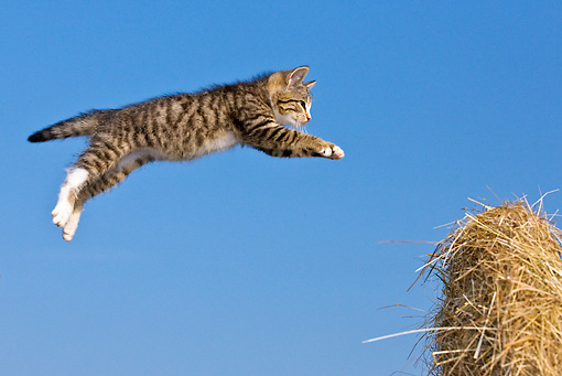 CAT 03 KH0568 01 © Kimball Stock Tabby Kitten Leaping To Haystack