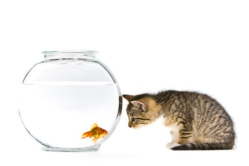 CAT 03 KH0569 01 © Kimball Stock Tabby Kitten Watching Goldfish In Bowl On White Seamless