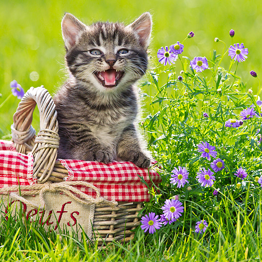 CAT 03 KH0577 01 © Kimball Stock Tabby Kitten Sitting In Picnic Basket By Purple Flowers France