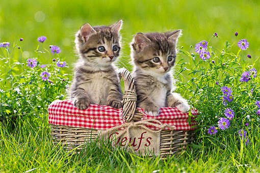 CAT 03 KH0579 01 © Kimball Stock Two Tabby Kittens Sitting In Egg Basket By Purple Flowers France
