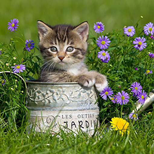 CAT 03 KH0580 01 © Kimball Stock Tabby And White Kitten Sitting In Watering Can By Purple Flowers France
