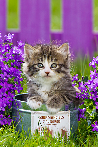 CAT 03 KH0581 01 © Kimball Stock Tabby And White Kitten Sitting In Tin Pot By Bluebells France