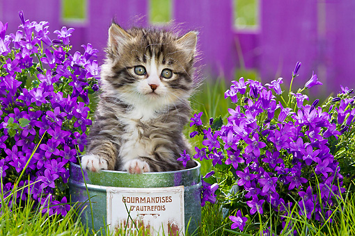 CAT 03 KH0582 01 © Kimball Stock Tabby And White Kitten Sitting In Tin Pot By Bluebells France