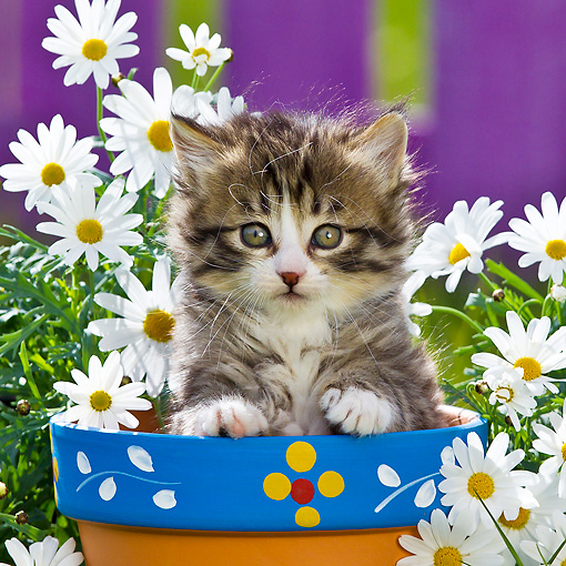 CAT 03 KH0583 01 © Kimball Stock Tabby And White Kitten Sitting In Flower Pot By Daisies France