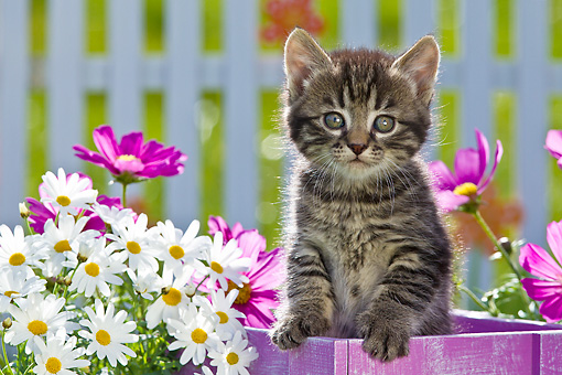 CAT 03 KH0585 01 © Kimball Stock Tabby Kitten Sitting In Flower Pot By Daisies And Cosmos France