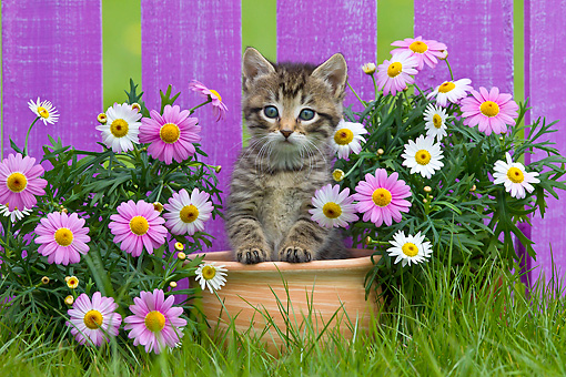 CAT 03 KH0587 01 © Kimball Stock Tabby Kitten Sitting In Flower Pot By Spring Daisies France
