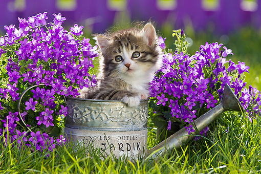 CAT 03 KH0589 01 © Kimball Stock Tabby And White Kitten Sitting In Watering Can By Bluebells France