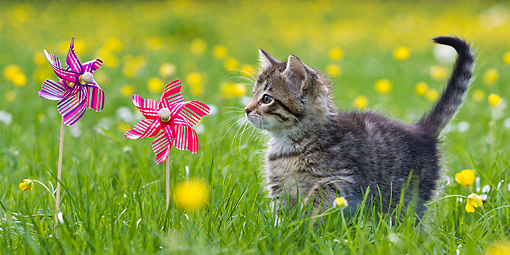 CAT 03 KH0597 01 © Kimball Stock Tabby Kitten Intrigued By Windmills In Garden Of Buttercups France